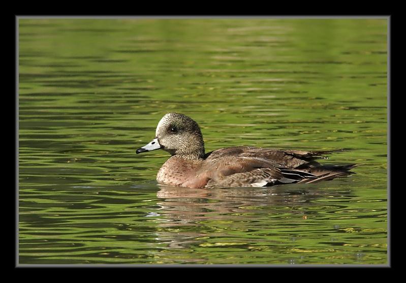 Canards d'Amérique CanardDAmerique25