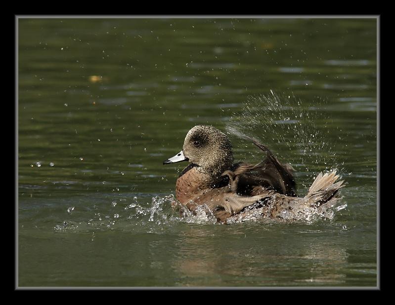 Canard d'Amérique: le bain CanardDAmerique26