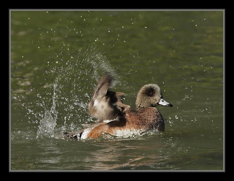 Canard d'Amérique: le bain CanardDAmerique30