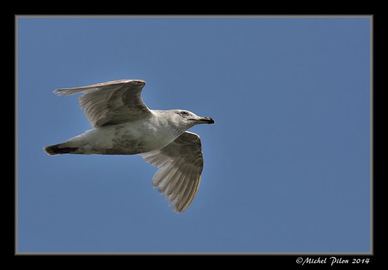 Le vol du Goéland à ailes grises GoelandAAilesGrises20
