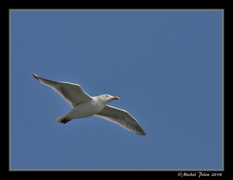 Le vol du Goéland à ailes grises GoelandAAilesGrises21