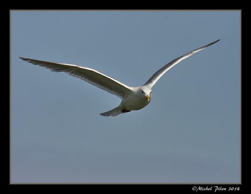 Le vol du Goéland à ailes grises GoelandAAilesGrises22