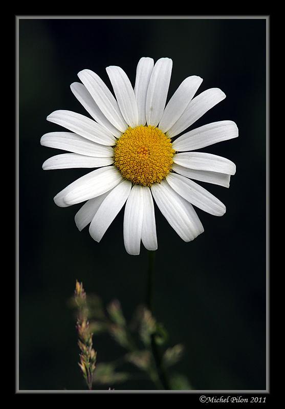 Serait-ce Chrysanthemum leucathemum? Inconnu1