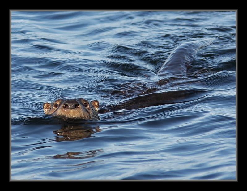 Un maitre nageur LoutreDeRiviere18