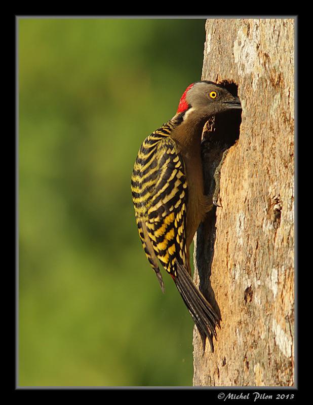 Pic d'Hispaniola: un pic endémique de la R. Dominicaine PicDHispaniola36