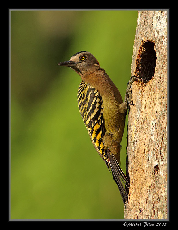 Pic d'Hispaniola: un pic endémique de la R. Dominicaine PicDHispaniola41