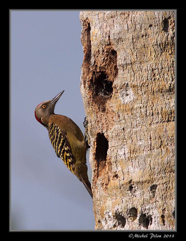 Pic d'Hispaniola: le mâle PicDHispaniola48