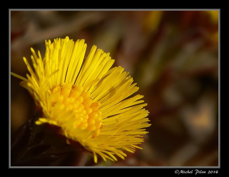 Le Tussilage Farfara Une Fleur Bien Tardive Bonne Visite Sur